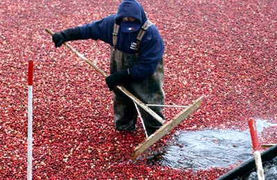 "Cranberries must be very hardy to thrive in a place as filthy as a bog. Darren McCollester/Getty Images from ""HowStuffWorks"" by Russel Avery"
