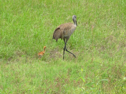 Parenting - a crane chick, begins to explore, but under the watchful eye of a parent