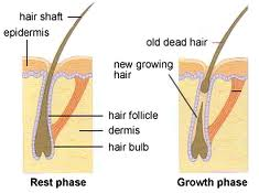 How new hair grows from a hair follicle